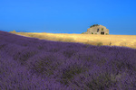 D800e 44 PI.  An abandoned farmhouse with fields of wheat and lavender at summer.  Plateau de Valensole, Provence, France