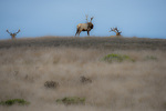 D800e 99 PI.  Tule Elk at Pt. Reyes National Park, CA