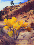 LF 511 PI.  Fremont cottonwood in full fall color.  Zion Natinal Park, UT