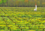 SF 621 PI. Spring finds mustard flourishing in a vineyard of Dry Creek Valley, Sonoma County, CA