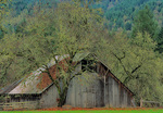 SF 49.  A barn shaded by trees gathers fall leaves on its roof.  Douglas County, OR
