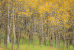 SF 212 PI.  Fall aspen and native grasses in the San Isabel National Forest, Colorado