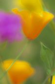 SF 2015 PI.  Poppies and mixed wildflowers in a garden.  Lane County, OR