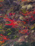 LF 355.  Vine maple in an asymetrical pattern at full fall  color.  Three Sisters Wilderness, OR