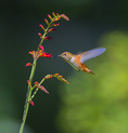 D800e 345.  A female rufous hummingbird, selasphorus rufous, feeds on crocosmia.  Lane County, Willamette Valley, OR