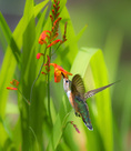D800e 346.  A female rufous hummingbird, selasphorus rufous, feeds on crocosmia. Lane County, Willamette Valley, OR