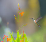D800e 348.  Female Rufous Hummingbird, selasphorus rufous, near flowering crocosmia.  Lane County, Willamette Valley, OR