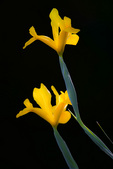 D800e 358.  Side lit yellow iris.  Lane County, Willamette Valley, OR