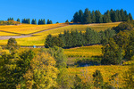 D8506.  Zenith Vineyard, mid morning, mid Oct.  Eola-Amity Hills, Salem, Oregon