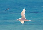 Red-tailed Tropicbird flying over the Midway lagoon, (Laysan Albatross in the background)