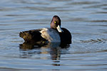 A Lesser Scaup drake.