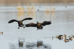 Two Dusky Canada Geese land on McFadden Marsh. One has a USFWS neck band.