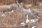 Sandhill Cranes foraging at Bosque del Apache NWR.