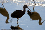 A White-faced Ibis on an icy stream at Lower Klamath NWR.