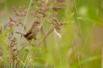 A Marsh Wren singing .