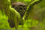 A Northern Spotted Owl