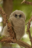 A Northern Spotted Owl chick.