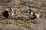 Greater Sage Grouse threatening to fight.