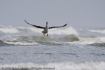 An immature Brown Pelican landing on the surf.