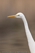 A Great Egret hunting.