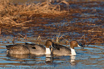 A group of Northern Pintails.