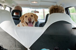 A Labrador Retriever watches the photographer get equipment out of the car