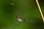 Orchard Orbweaver 