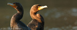 Pair of Double-crested Cormorants