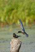 Black Terns courtship feeding