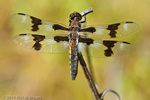 Eight-spotted Skimmer male