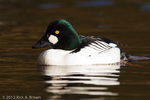 Common Goldeneye drake