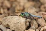 Male Western Pondhawk 
