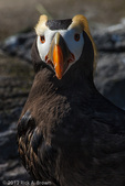 Tufted Puffin CAPT