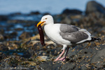Western Gull with eel