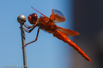 Male Flame Skimmer hunting from car antenna.