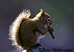 Red Squirrel eating a pine cone.