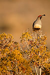 Gambel's Quail in the Mojave Desert, California.