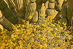 Organ Pipe Cactus (Stenocereus thurberi) with Brittlebush (Encelia farinosa), Organ Pipe Cactus National Monument, Arizona.