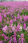 Fields of fireweed along the Dalton Highway, Alaska.