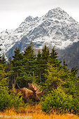 Bull Moose during Fall rut, Chugach Mountains, Chugach State Park, Anchorage, Alaska.