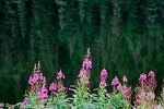 Fireweed blooms along Jerome Lake, Kenai Peninsula, Chugach National Forest, Alaska.