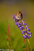 Savannah Sparrow perched on Lupine, Kenai Peninsula, Chugach National Forest, Alaska.