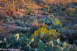 Cactus and wildflowers in Saguaro East, Saguaro National Park, Tucson, Arizona.
