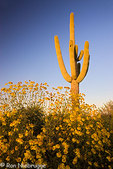 Saguaro cactus and brittlebush wildflowers in McDowell Mountain Regional Park, near Fountain Hills, outside of Phoenix, Ariziona.