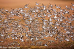 Shorebird migration on the Copper River Delta, Chugach National Forest, Cordova, Alaska