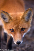 Red Fox, Denali National Park, Alaska.