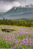 A field of lupine near Paradise Valley, Chugach National Forest, near Seward, Alaska.