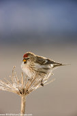 Common Redpoll, Seward, Alaska.  (Carduelis flammea)