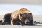 Brown / Grizzly Bear, Lake Clark National Park, Alaska.