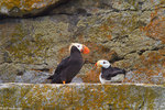 Horned andTufted Puffin, Lake Clark National Park, Alaska.